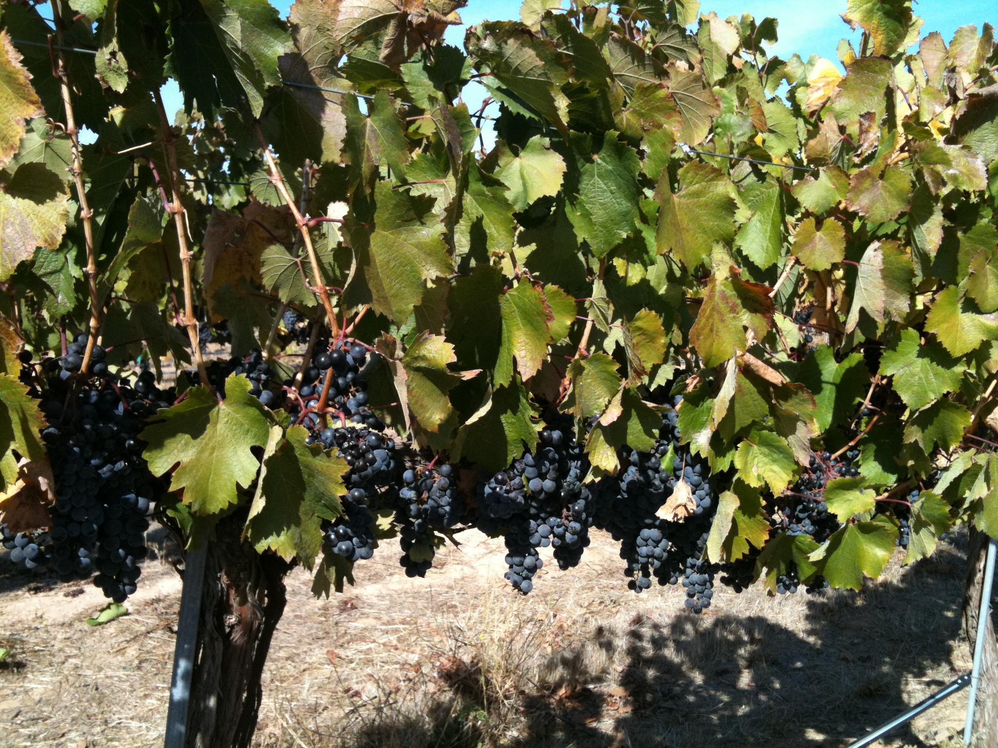 uvas del etna