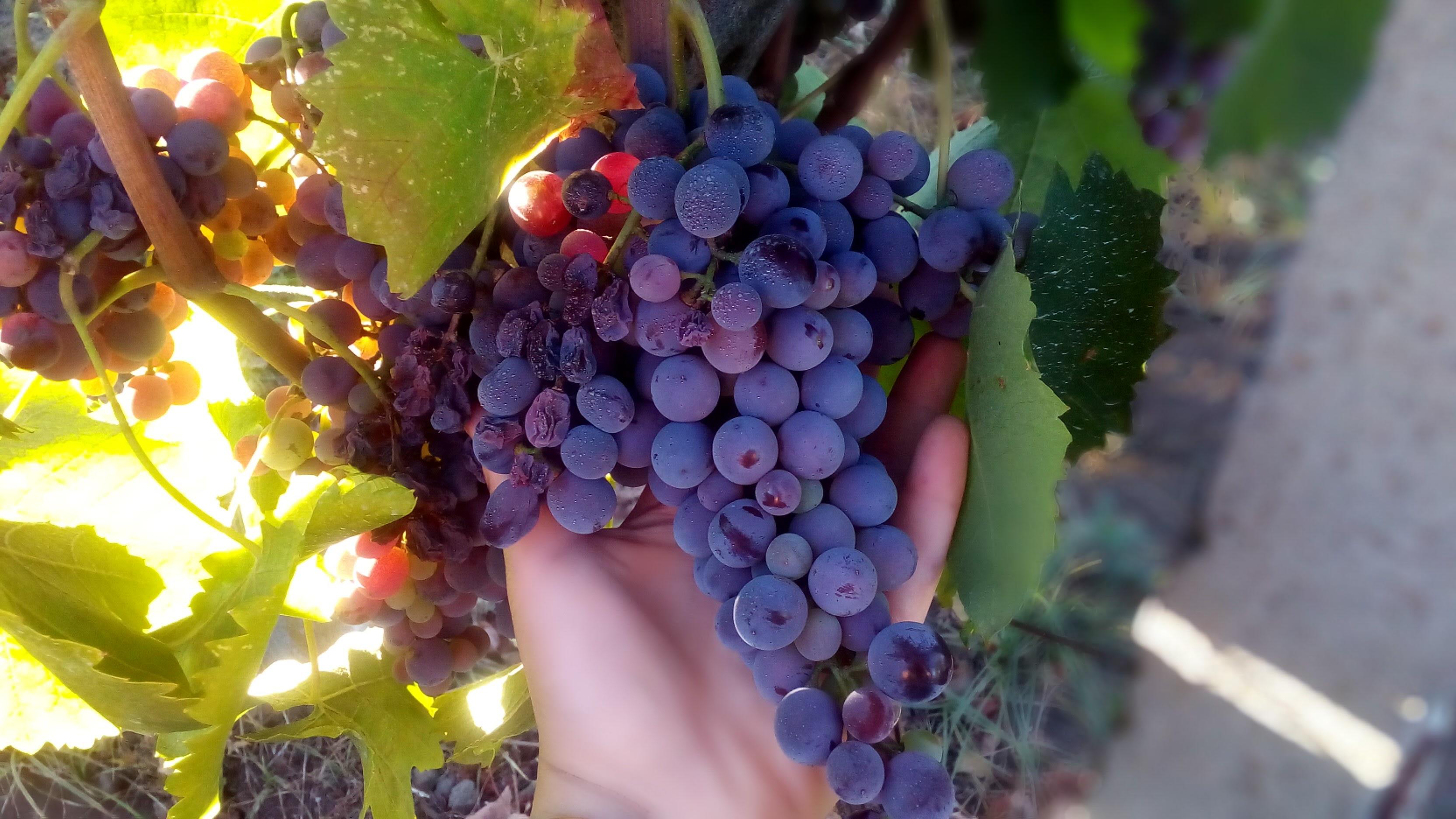 Raisin de Vignobles Etna